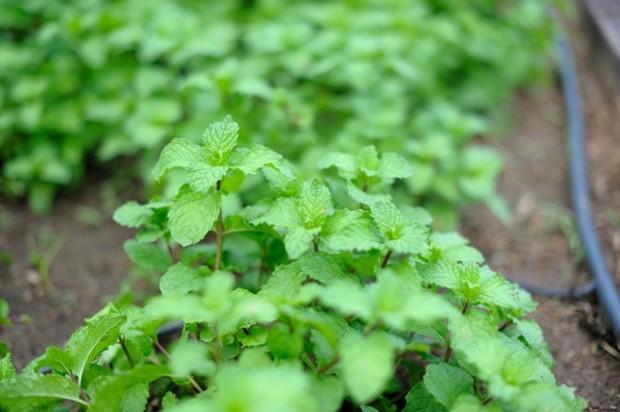 แปลงผักที่ปลูกในสวนออร์แกนิกการ์เด้น