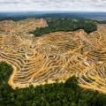 สภาพป่าไม้ในรัฐซาราวักซึ่งถูกถางเพื่อทำไร่ปาล์มน้ำมัน ที่มาภาพ: http://understory.ran.org/wp-content/uploads/2010/10/Oil-palm-plantation-in-Sarawak.-Photo-by-Mattias-Klum.jpg