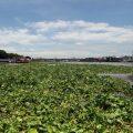 เร่งกำจัดผักตบชวาเหนือเขื่อนเจ้าพระยา จังหวัดชัยนาทวันที่ 4 ส.ค. 2559 ที่มาภาพ : http://image.bangkokbiznews.com/media/images/size5/2016/08/01/j69jbheaffhb6cd5bd8jc.jpg